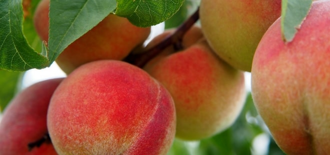 Image of Georgia peaches growing on a tree